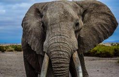 Regard fixe d'éléphant Image libre de droits