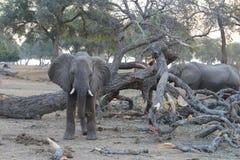 Regard fixe d'éléphant Images libres de droits