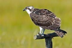Regard fixe d'Osprey (haliaetus de Pandion) Photo stock