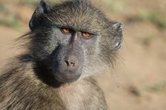 Regard fixe de babouin Image libre de droits