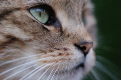 Regard fixe de chat Photo stock