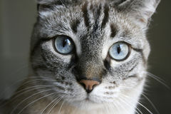 Regard fixe de chat Photos stock