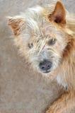 Regard fixe de chien Image libre de droits
