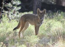 Regard fixe de coyote Photo stock