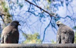 Regard fixe de deux pigeons à l'un l'autre, sur le fond de ciel, la Russie photos stock
