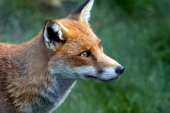 Regard fixe de Fox Photos stock