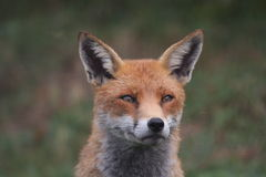 Regard fixe de Fox Photo libre de droits