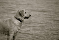 Regard fixe de golden retriever Photo libre de droits