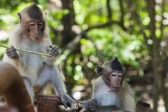 Regard fixe de haut en bas de singe Photos libres de droits