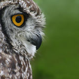Regard fixe de hibou Photo libre de droits