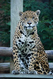 Regard fixe de jaguar Image libre de droits