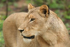Regard fixe de lionne Photographie stock