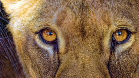 Regard fixe de lionne Photos stock