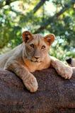 Regard fixe de lions Photos libres de droits