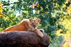 Regard fixe de lions Photographie stock