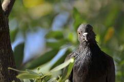 Regard fixe de pigeon Image libre de droits