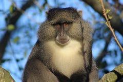 Regard fixe de Sykes Monkey Photo libre de droits