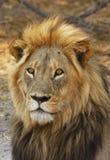 regard fixe froid de lion d'or image libre de droits