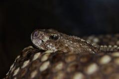Regard fixe intense de la mort de serpent à sonnettes image libre de droits