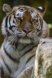 Regard fixe sibérien de tigre Photographie stock libre de droits