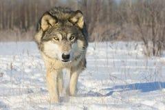 Regard fixe très intense de loup de bois de construction image libre de droits
