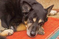 Regard fixe triste d'un chien Photo libre de droits