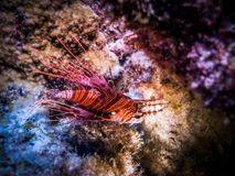 Regard haut étroit de Lionfish Espèce marine Photos stock