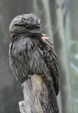 Regard haut de grande fin chez Gray Feathered Tawny Frogmouth photographie stock libre de droits