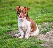 Regard heureux de chien directement Photographie stock libre de droits