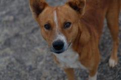 Regard intense d'un chien indien images libres de droits