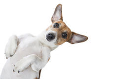 Regard mignon de chien image libre de droits