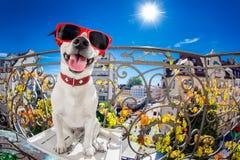 Regard muet idiot fou de fisheye de chien Photos stock
