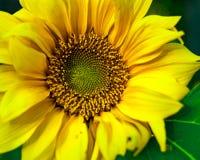 Regard naturel de tournesol fleurissant dans pleine page image stock