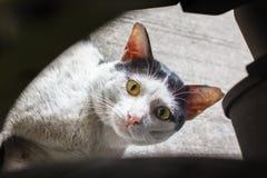 Regard noir et blanc de vieux chat égaré directement Photo stock