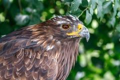 Regard perçant de l'aigle dans l'essence même photographie stock