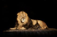 Regard rêveur d'un lion asiatique menteur, d'isolement sur le backgro noir Image libre de droits