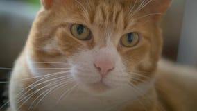 Regard rouge de chat de museau dans la caméra banque de vidéos