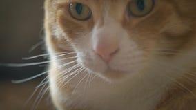 Regard rouge de chat de museau dans la caméra clips vidéos