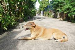 Regard thaïlandais de chien si chaud et éprouvé Photographie stock