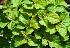 Regard vers le bas sur des feuilles d'usine de patchouli Image libre de droits
