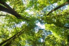 Regard vers le haut par des arbres à l'auvent haut en haut Photographie stock libre de droits