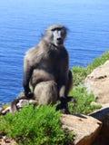 Regardant fixement un babouin Photographie stock