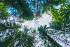 Regardant le ciel bleu par des arbres dans une forêt verte dense dans le secteur maximal, le R-U photos stock