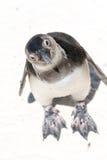 regardant le pingouin vers le haut Images stock