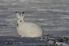 Regarder artique de Lepus arctique de lièvres dans fixement la distance, près d'Arviat, Nunavut images stock