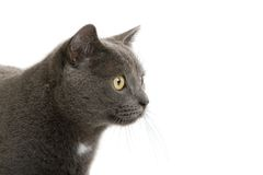 Regarder britannique de chat de court-cheveu Photographie stock