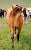 Regarder brun grisâtre foncé de cheval photos stock
