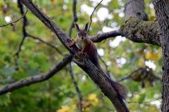 Regarder d'écureuil Photo stock
