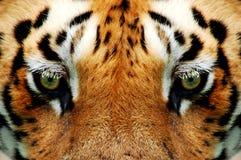 Regarder dans fixement les tigres observent Photos stock