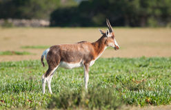 Regarder de Bontebok Photo stock